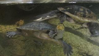 ヨコクビガメ科 Pelomedusidae