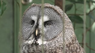 Great Grey Owl (Chiba Zoological Park, Chiba, Japan) September 17, 2020