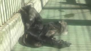 シシオザル (熊本市動植物園) 2019年4月18日