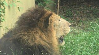 ライオン (東武動物公園) 2020年9月18日