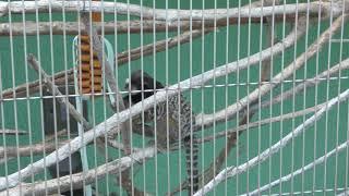 クロミミマーモセット (甲府市遊亀公園付属動物園) 2018年9月23日