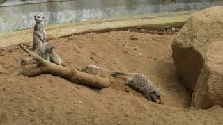 Meerkat (Chiba Zoological Park, Chiba, Japan) September 24, 2017