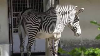 グレビーシマウマ の『ナギ』と『ライチ』 (多摩動物公園) 2018年9月9日