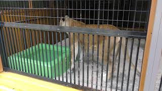 ライオンのライちゃん (大内山動物園) 2018年1月3日