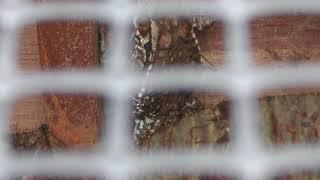 アズマヒキガエル (茶臼山動物園) 2018年4月15日