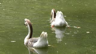 水鳥の池 (智光山公園 こども動物園) 2018年7月22日