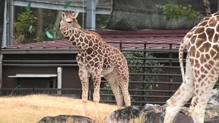 アミメキリン の『サンタロウ』 (高知県立のいち動物公園) 2019年12月21日