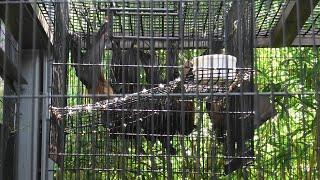 インドオオコウモリ (京都市動物園) 2020年9月1日
