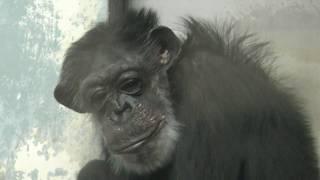 チンパンジーの『ロロ』 (仙台市八木山動物公園/セルコホーム ズーパラダイス八木山) 2018年1月20日