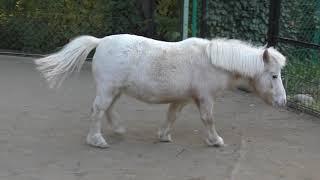 アメリカンミニチュアホース Miniature horse