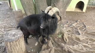 ヤギの『ヒロト』 (埼玉県こども動物自然公園) 2018年2月3日
