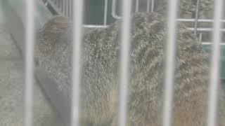 ミーアキャット の『みっくん』 (和歌山城公園 動物園) 2018年12月24日