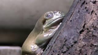 イエアメガエル (体感型カエル館 kawazoo【カワズー】) 2019年9月30日