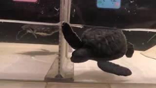 アオウミガメの子供 (ヨコハマ赤ちゃん水族館) 2017年12月16日