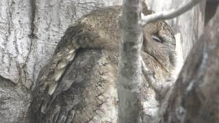 Sunda Scops-owl (Aquamrine Fukushima, Fukushima, Japan) December 3, 2018
