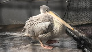 Pink-backed Pelican (TOBA AQUARIUM, Mie, Japan) December 25, 2020