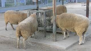 ふれあい仕事を終えて食事をするヒツジたち (天王寺動物園) 2017年11月3日
