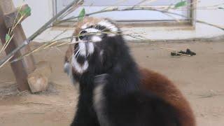 レッサーパンダ の『キャラ』と『光』 (福知山市動物園) 2019年11月24日