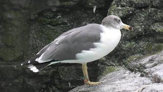 Black-tailed gull & Herring Gull (Yokohama Zoological Gardens [ZOORASIA], Kanagawa, Japan) September 16, 2020