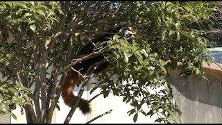 レッサーパンダの『ハオ』と『ソラ』 (市川市動植物園) 2018年3月4日