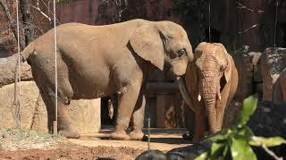 アフリカゾウ (仙台市八木山動物公園) 2019年4月13日