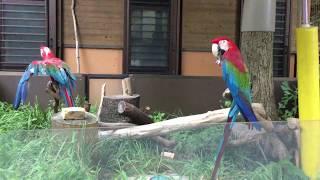 ルリコンゴウインコとベニコンゴウインコ (多摩動物公園) 2017年8月27日