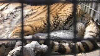 アムールトラ の『リング』 (茶臼山動物園) 2018年11月4日