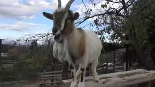 ヤギ と ヒツジ (群馬サファリパーク) 2018年11月10日