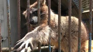 アライグマ (福知山市動物園) 2019年3月29日