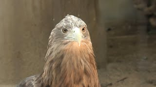 White-tailed eagle (Oji Zoo, Hyogo, Japan) August 4, 2020