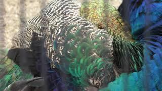 インドクジャク (京都市動物園) 2019年1月26日