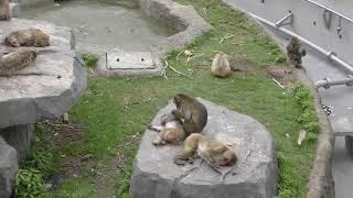 ニホンザル (札幌市 円山動物園) 2019年6月13日