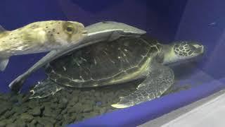 かめ吉と久慈の海の魚たち「トンネル水槽」 (久慈地下水族科学館 もぐらんぴあ水族館) 2019年8月11日