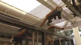 レッサーパンダの『アシタバ』と『アスナロ』 (東京都立大島公園 動物園) 2018年3月3日