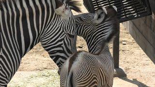 グレビーシマウマ の親子 (京都市動物園) 2020年9月1日
