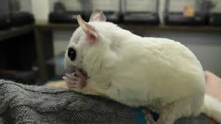 Flying squirrel Leucism (Living things Rapport School, Ehime, Japan) December 24, 2019