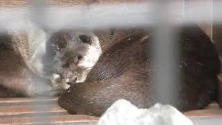 おやすみコツメカワウソ (東武動物公園) 2017年10月15日