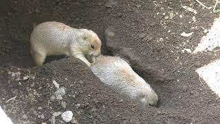 じゃれ合うオグロプレーリードッグ (伊豆シャボテン動物公園) 2018年4月22日