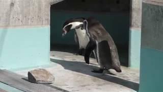 Humboldt penguin (Suzaka Zoo, Nagano, Japan) November 3, 2018