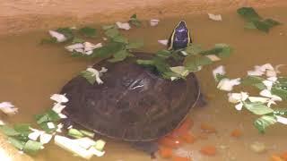 マレーハコガメ (仙台市八木山動物公園/セルコホーム ズーパラダイス八木山) 2018年1月20日