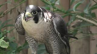 Peregrine Falcon (KOBE ANIMAL KINGDOM, Hyogo, Japan) June 24, 2020