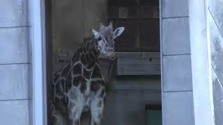 アミメキリン (東山動植物園) 2019年1月22日