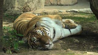 アムールトラ の『レーニャ』 (神戸市立 王子動物園) 2020年8月4日