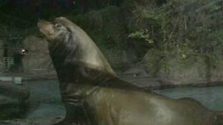 カリフォルニアアシカ(上野動物園) 2017年8月9日