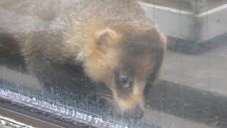 ニッポンアナグマ の『シロ』 (高岡市古城公園動物園) 2019年8月16日
