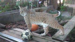 ボブキャット の『ソラ』 (神戸市立王子動物園) 2020年9月28日