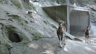 ムフロン (大牟田市動物園) 2019年4月19日