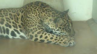 ジャガー の『アサヒ』と『ミワ』 (京都市動物園) 2020年9月1日