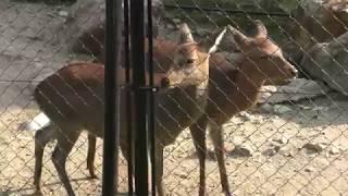シカの鳴き声 (京都市動物園) 2017年11月5日