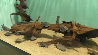 ブタバナガメの子供たち (名古屋港水族館) 2017年11月18日